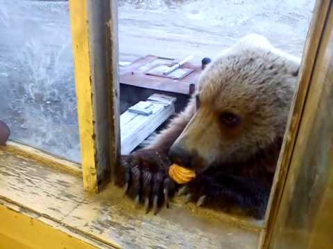 Добрые русские медведи на колыме youtube