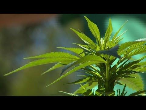 Les Uruguayens pourront bientôt cultiver leur propre cannabis