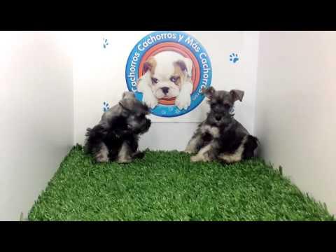 venta de perros cachorros Schnauzer Sal y Pimienta Macho y Hembra Cachorros y mas cachorros.com