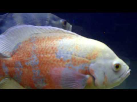 Big Oscar Fish - YouTu...