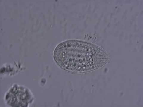 Tetrahymena -GT_e2nbtOy4