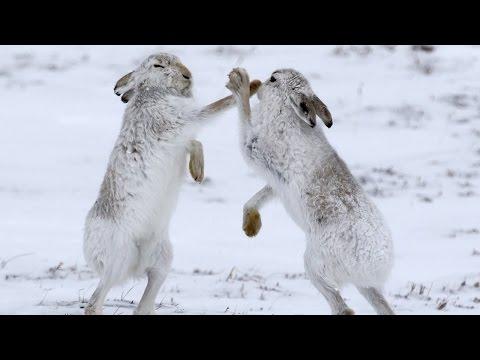 الأرانب ترقص أيضاً .. ولكن لماذا ...