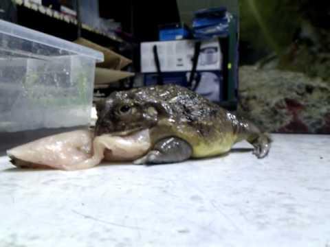 Bullfrog Tanzania