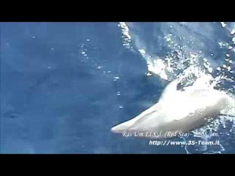3S Team @ Sharm Dolphin's jokes (race: Stenella)
