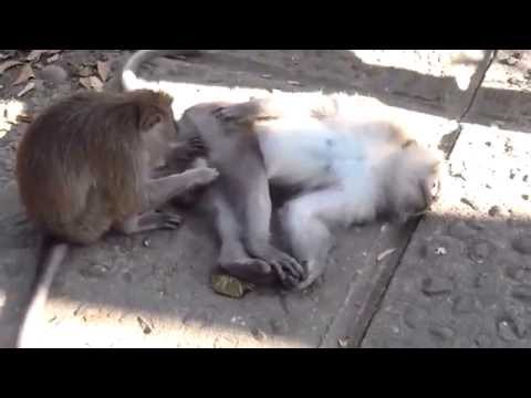 Youtube.com Videos - mating monkeys Videos