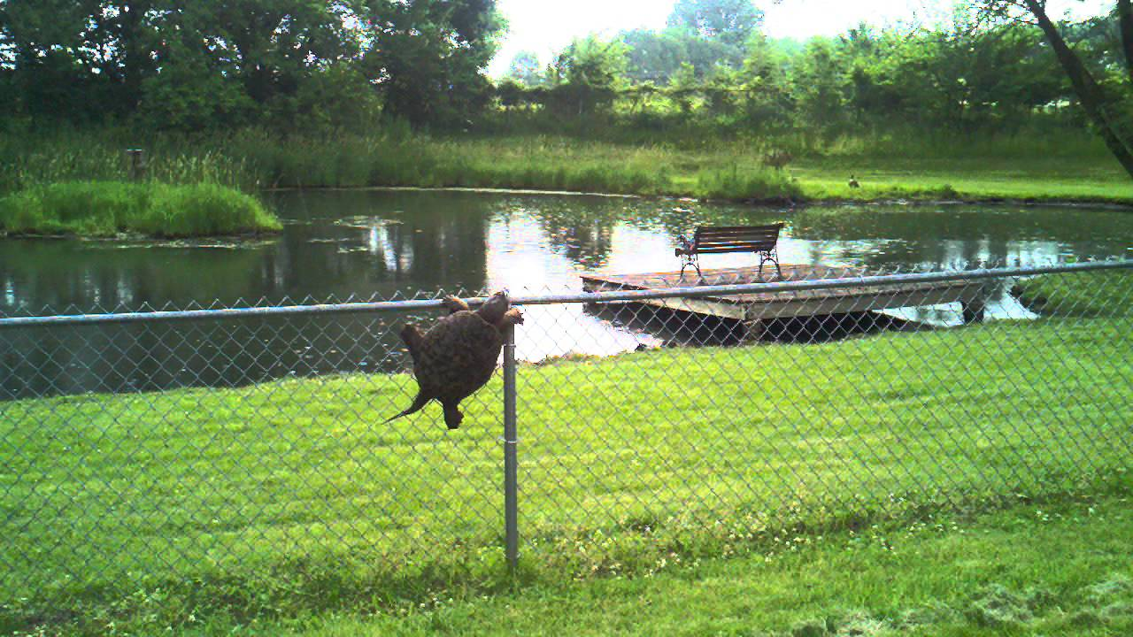 Snapping Turtle Climbs Fence Youtube