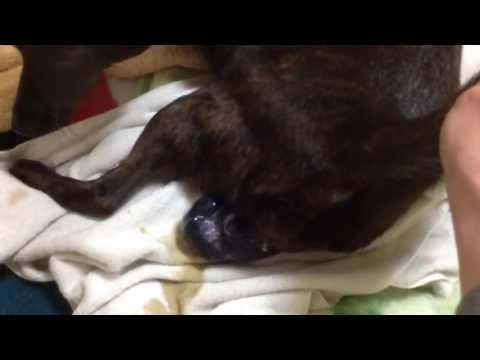 2013-4.13 御殿犬舎 甲斐犬「さくら」の初出産