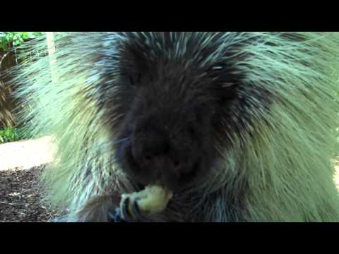 Teddy Bear, the Porcupine, Cools Off with a Frozen Banana
