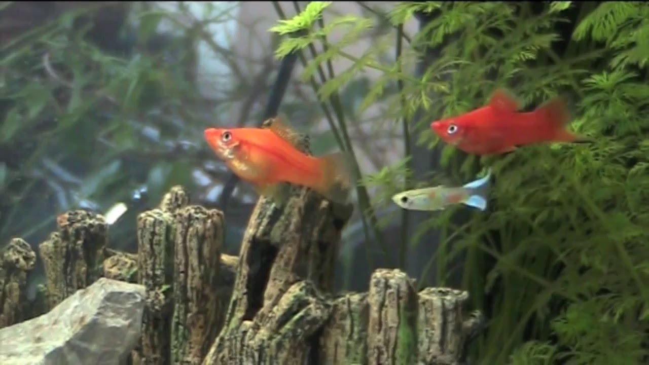 Fish tank cam aquarium cam black molly fry youtube for Fish tank camera