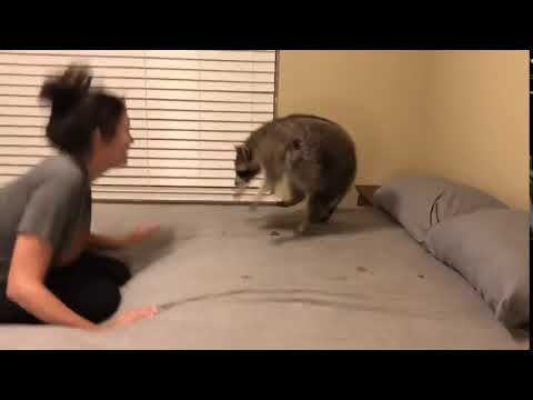 Raccoon Funnily Falls Off Bed While Playing Bounce With Owner - 1084200