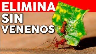 Eliminar las hormigas del huerto