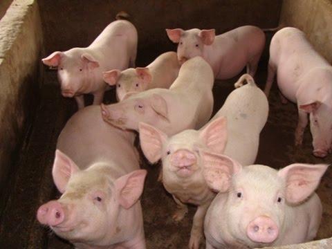 Biện pháp phòng và điều trị bệnh tiêu chảy ở lợn con