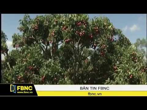 FBNC - Vietnam Airlines trợ giá cước vận chuyển trái vải sang Pháp