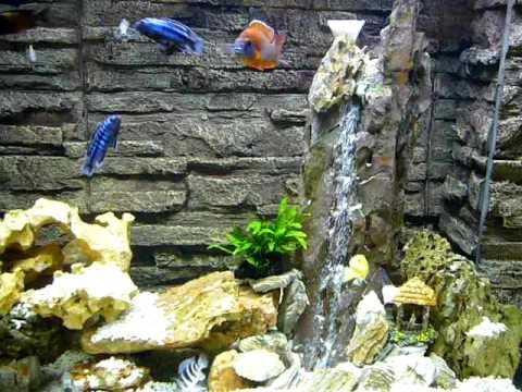 Tanganyika Cichlid Amp Malawi Cichlid Amp Underwater Waterfall ŝ�干馬鯛混養 ȇ�製水中瀑布 Youtube