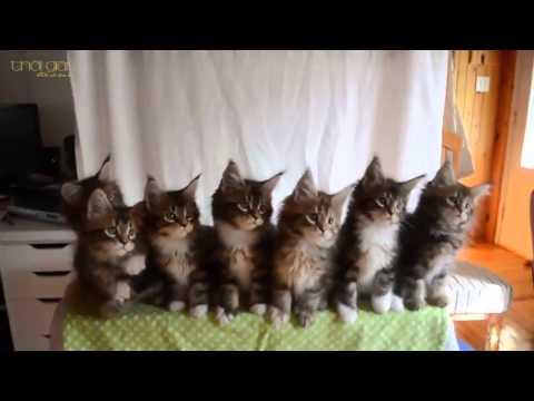 7 chú mèo con đồng diễn cực kỳ đáng yêu
