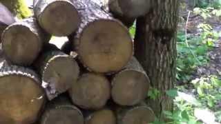 Se taie copaci seculari în Codrii Orheiului!