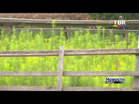 100 тысяч сеянцев лиственницы заготовлено бердским лесхозом