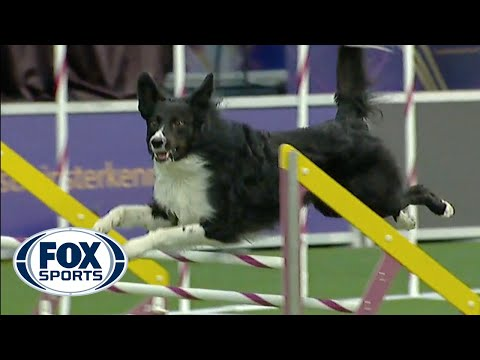 Border Collie on agility course (winner)