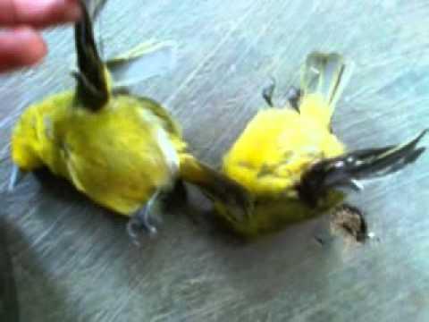 Sung con ban chết chim sâu khoảng cách 15m