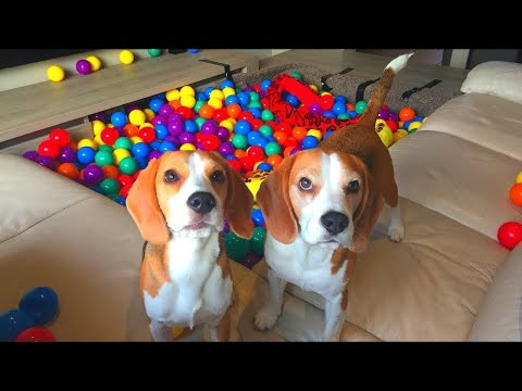 MY CUTE PUPPY GETS A GIANT BALL PIT! CUTE AND FUNNY REACTION.
