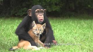 Playmates: Chimpanzee and Siberian Lynx Friends.
