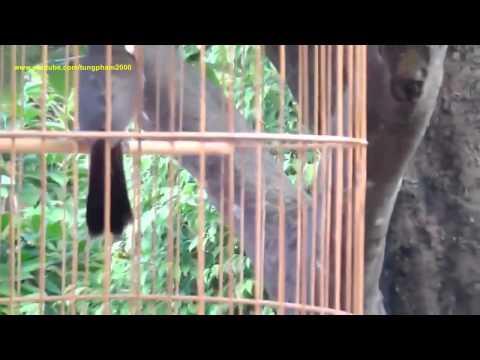 Chim Chào Mào Đẹp Hót Cực Hay 2015 Đấu Khẩu