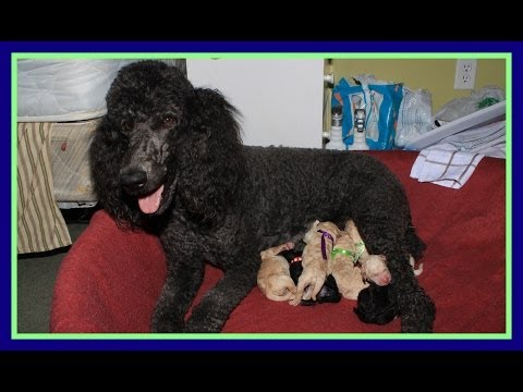 Standard Poodle Giving Birth | NON-GRAPHIC VERSION