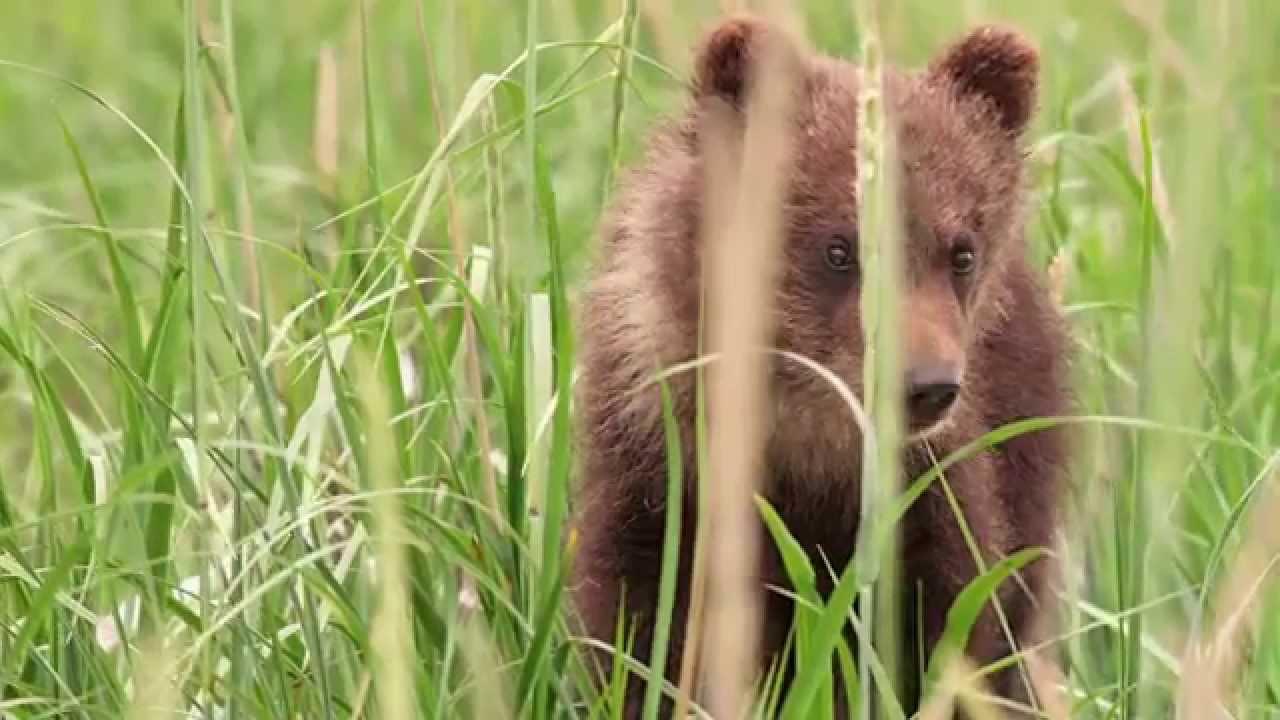 Disneynature''s Bears - Protecting Wildlife & Wild Places