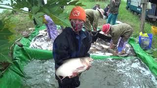 Xem Bác Nông Dân thu hoạch cá chép mà không muốn về