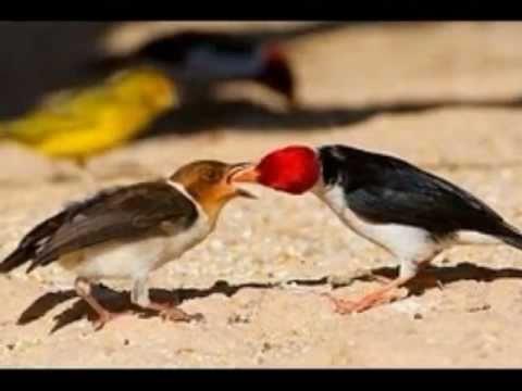 Aves do Brasil - O Galo-da-Campina. Ouça o seu canto encantador!, O galo-da-campina, é uma ave da família Emberizidae, grupo dos cardeais. A espécie tem cerca de 17 cm de comprimento, cabeça anterior e garganta vermelhas se...