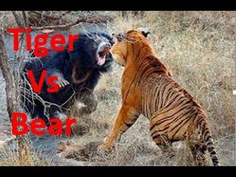 Hai con hổ đánh nhau dữ dội với gấu đen