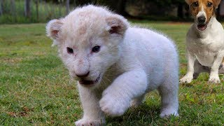 [New Born White Lion Cub and Dogs Best Friends] Video