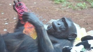 Chimpanzees: Dumber Than All Humans - Horrifying Planet - Ep. 2 view on youtube.com tube online.