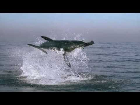 Great White Shark Attack - BBC's Planet Earth ®