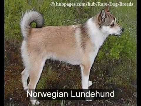 Rare Dog Breeds: Top 10 Rare Dog Breeds,