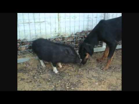 Cachorro socializando con un cerdo vietnamita