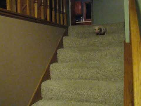 Hamlet the Mini Pig Goes Down the Stairs