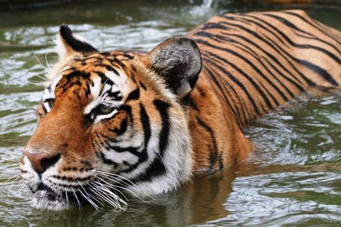 TIGER - Amazing Predator. Why Can't We Save The Tiger?