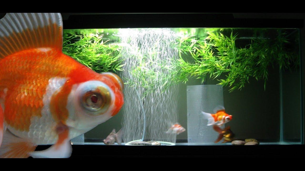 55 Gallon Goldfish Aquarium Youtube