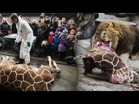 Danish Zoo Kills 'Surplus' Baby Giraffe, Holds Public Autopsy