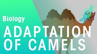 Adaptations Of Camels Ecology And Environment The