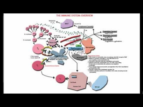 The Immune System Overview and Tutorial - Innate and Adaptive