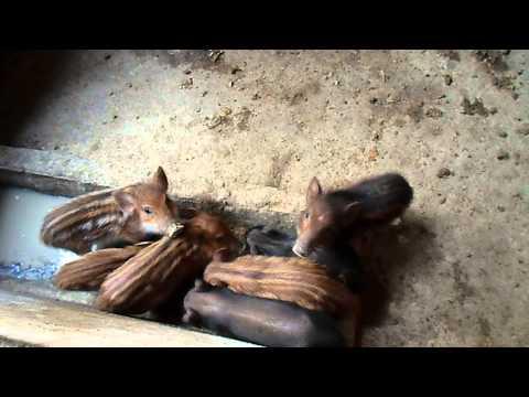 Mua bán heo rừng làm thịt, con giống sĩ và lẻ  ĐT: 01666020666, Bạc Liêu, VN