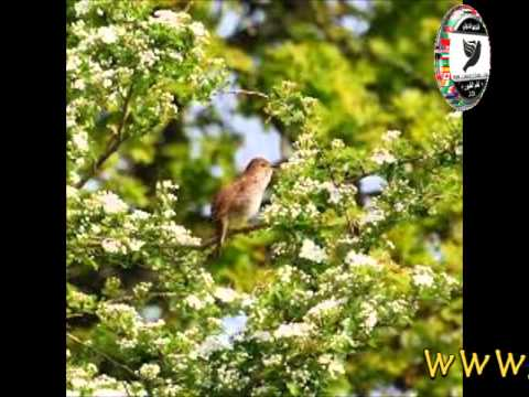 Sam Abdul - فيديو شريط 2013 - خوامي garrulax canorus