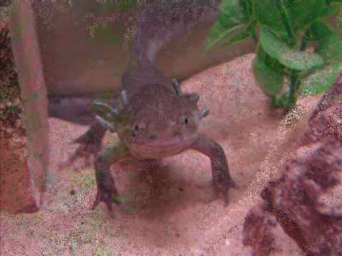 From water dog to salamander in 6 weeks youtube for Water dog fish