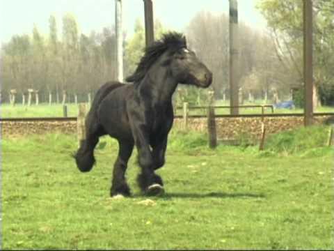 Simon van Straten - Beautiful Belgian Draft Horse