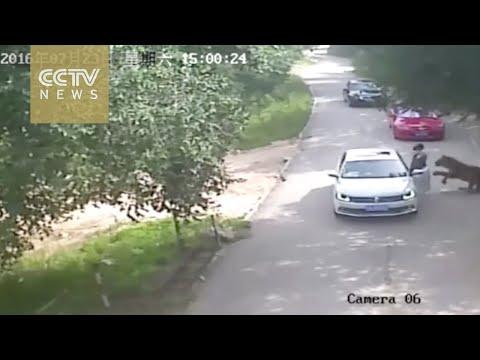 Семејна расправија завршила со трагедија: Истрчала од автомобилот, по што ја растргнал тигар