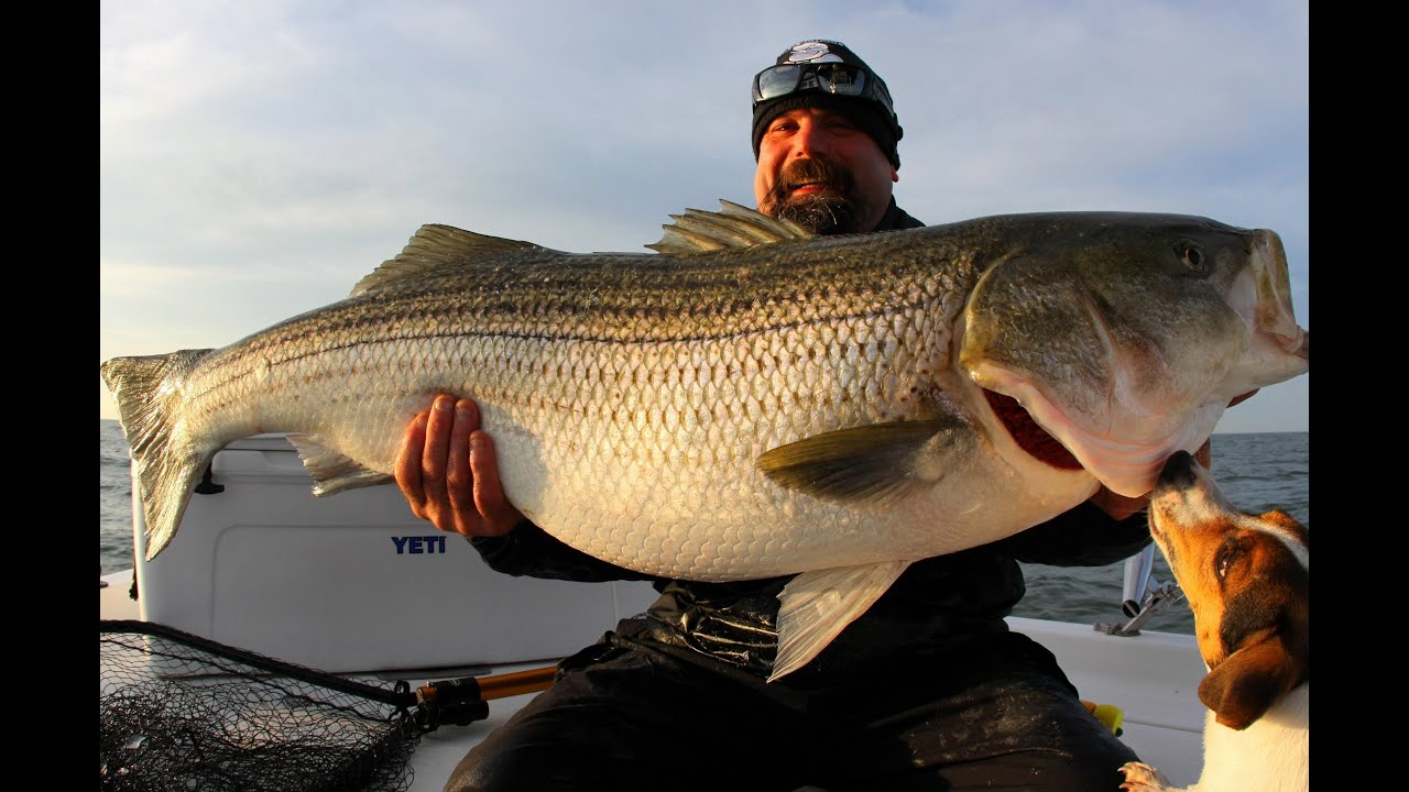One really big striper striped bass fishing chesapeake for Striper fishing chesapeake bay