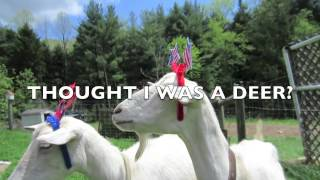 [Fourth of July Goat] Video