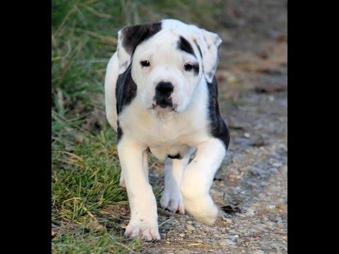 Shar pei puppies for sale in richmond virginia west for Shar pei puppies for sale craigslist
